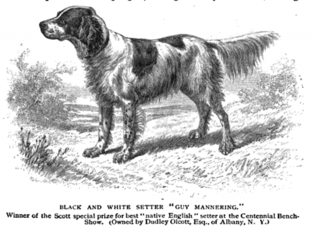 Dudley Olcott's English Setter, Guy Mannering