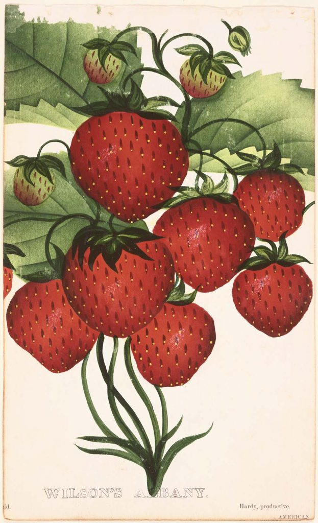 Wilson's Albany Strawberry, courtesy Museum of Fine Arts Boston